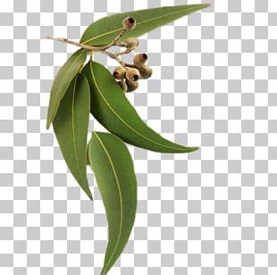 Eucalyptus Radiata Eucalyptus Oil DoTerra Eucalyptus Smithii PNG