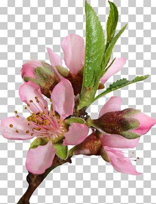 Peach Cherry Blossom Flower PNG