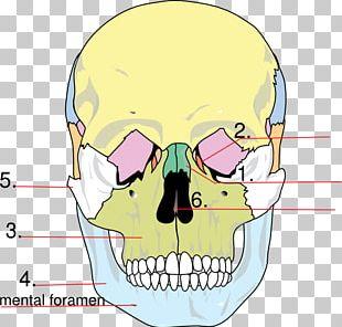 Facial Skeleton Skull Anatomy Human Skeleton Lacrimal Bone PNG