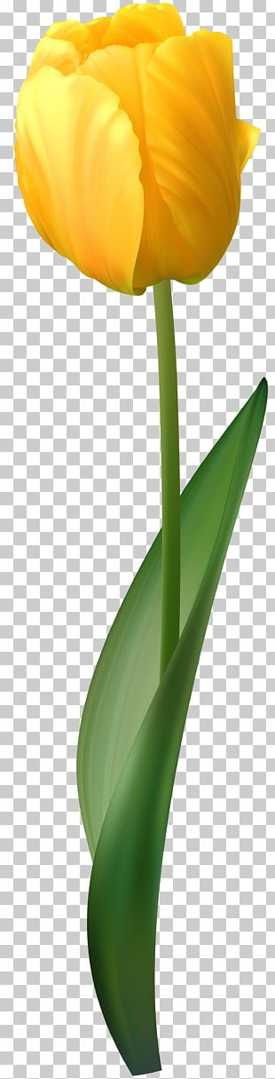 Flower Tulip Yellow PNG