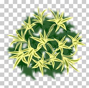 Dracaena Reflexa Plant Tree Shrub PNG