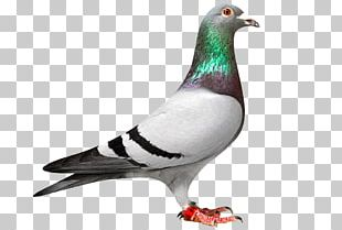 Homing Pigeon Racing Homer Columbidae Bird Pigeon Racing PNG