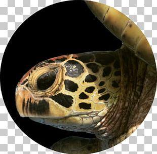 Box Turtles Hawksbill Sea Turtle Tortoise PNG
