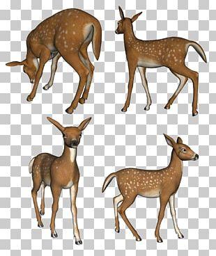 Reindeer Musk Deer White-tailed Deer Elk PNG