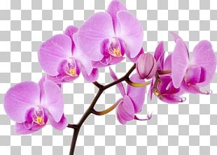Moth Orchids Flower Boat Orchid PNG
