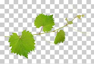 Common Grape Vine Wine Mirto Grape Leaves PNG