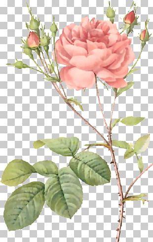 Roses Pierre-Joseph Redouté (1759-1840) Moss Rose Botany Botanical Illustration PNG
