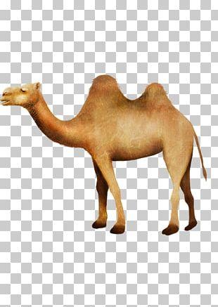 Camel RGB Color Model Desert PNG