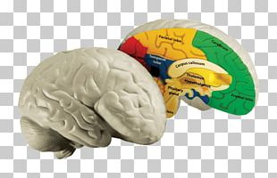 Human Brain Human Body Education Homo Sapiens PNG
