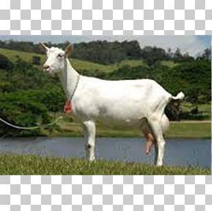 Saanen Goat Alpine Goat Toggenburg Goat Boer Goat Barbari Goat PNG