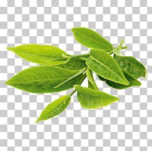 Green Tea Matcha Oolong Tea Plant PNG