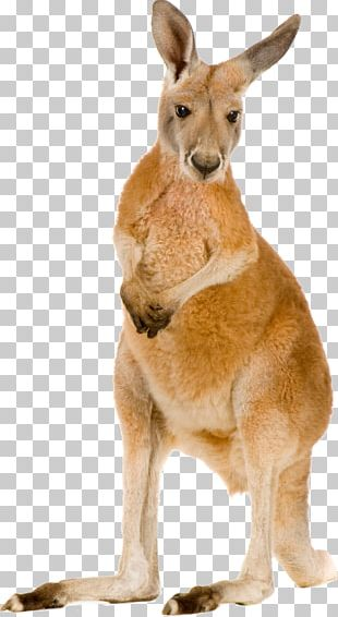 Red Kangaroo Eastern Grey Kangaroo Macropodidae Stock Photography PNG