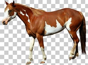 American Paint Horse Mangalarga Marchador Foal Standing Horse PNG