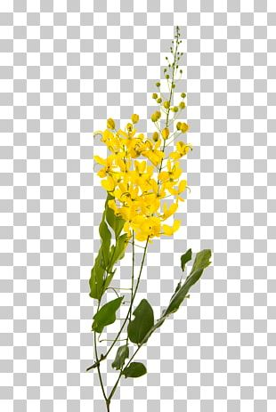Golden Shower Tree Flower Yellow Stock Photography Plant PNG