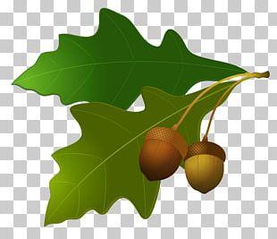Acorn Oak Leaf PNG