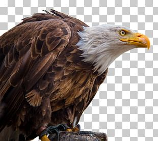 Bald Eagle White-tailed Eagle Portable Network Graphics PNG