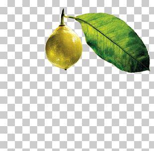 Citrus Leaf PNG