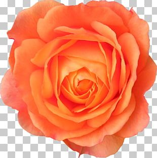 Cut Flowers Garden Roses Centifolia Roses PNG