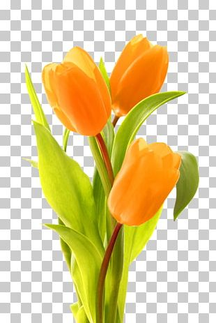 Keukenhof Indira Gandhi Memorial Tulip Garden Bouquet Of Tulips Flower Bouquet PNG