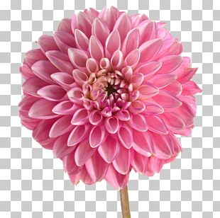 Dahlia Stock Photography Pink Flowers PNG