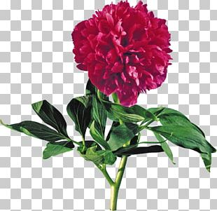 Moutan Peony Flower Red PNG