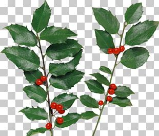 Holly Berry PNG