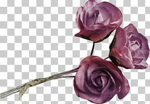 Garden Roses Beach Rose Cabbage Rose Flower PNG
