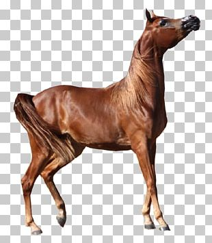 Arabian Horse American Paint Horse Foal Andalusian Horse American Miniature Horse PNG