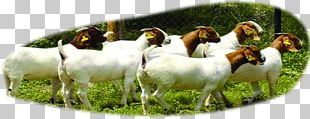 Boer Goat Beef Cattle Sheep U9b6fu897fu9ec3u725b PNG