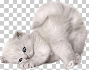 Persian Cat Kitten Puppy Cuteness PNG