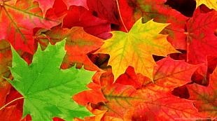 Autumn Leaf Color Desktop Tree PNG