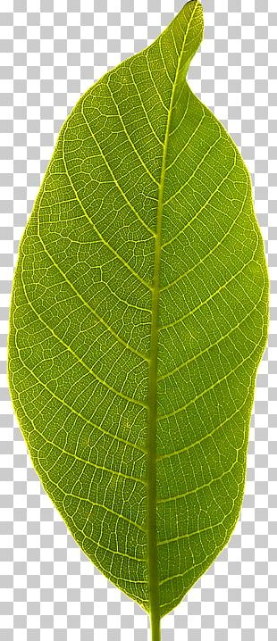 Leaf Plant Stem PNG