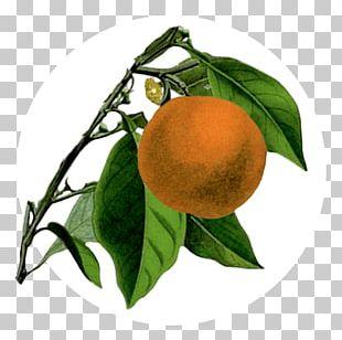 Bitter Orange Mandarin Orange Rangpur Tangerine Tangelo PNG