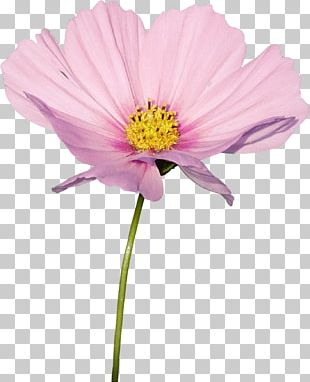 Cosmos Flower Plant Daisy Family PNG