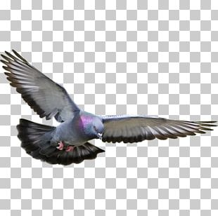 Racing Homer Columbidae Homing Pigeon Bird Fancy Pigeon PNG