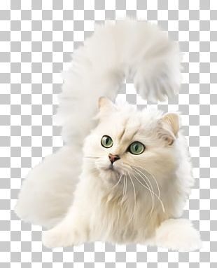Kitten British Semi-longhair Asian Semi-longhair Burmilla Ragamuffin Cat PNG