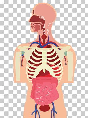 Human Body Organ Muscle Cartoon PNG