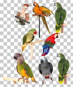 Lovebird Parrot Computer File PNG