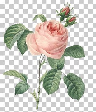 Roses Cabbage Rose Botany Botanical Illustration Printmaking PNG