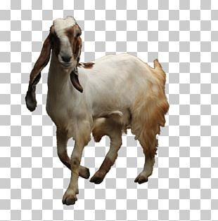 Jamnapari Goat Boer Goat Sheep Sate Kambing Goat Farming PNG