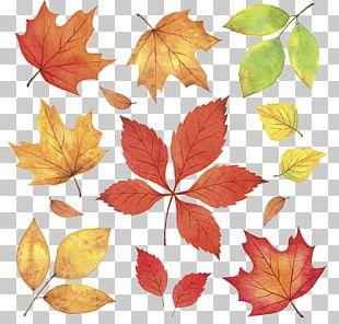 Autumn Leaves Leaf Illustration PNG