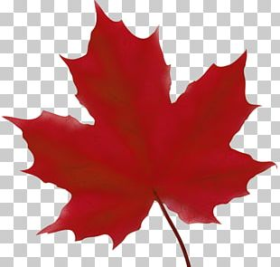 Maple Leaf Tree PNG