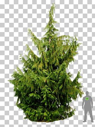 Spruce Christmas Tree Fir Pine Cupressus Nootkatensis PNG