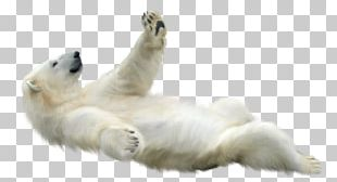 Polar Bear Animal PNG