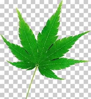 Cannabis Japanese Maple Hemp Drawing Autumn Leaf Color PNG