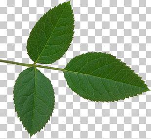 Rose Leaf Plant Leaves PNG