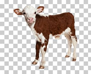 Calf Hereford Cattle Baby Farm Animals PNG