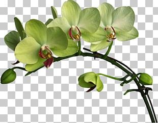 Flower Moth Orchids Boat Orchid Color PNG