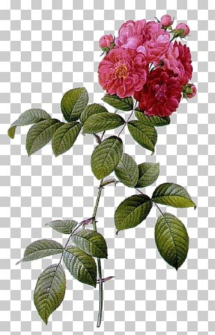 Multiflora Rose Les Roses French Rose Beach Rose Shining Rose PNG