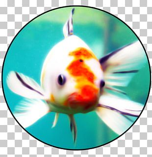 Goldfish Bony Fishes Marine Biology PNG